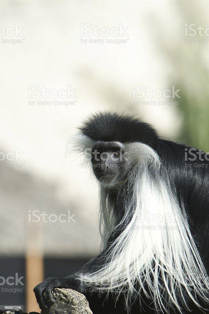 Black And White Colobus monkey royalty-free stock photo
