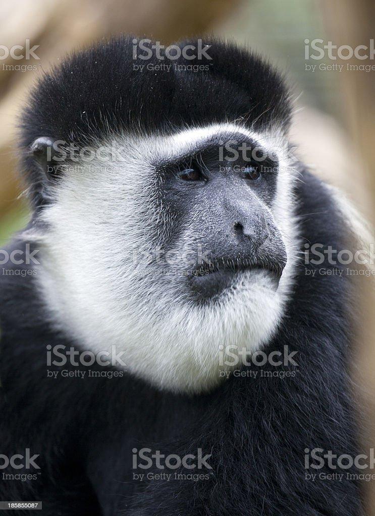 Black and White Colobus Monkey Portrait royalty-free stock photo