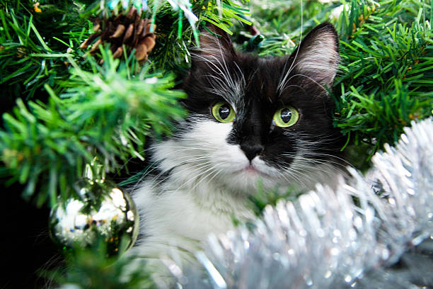 Black and white color cat lying in christmas tree branches picture id495703776?b=1&k=6&m=495703776&s=612x612&w=0&h=awz7qtyvgkyfnh6wom ott2ewg0auyc  zxpkohuink=