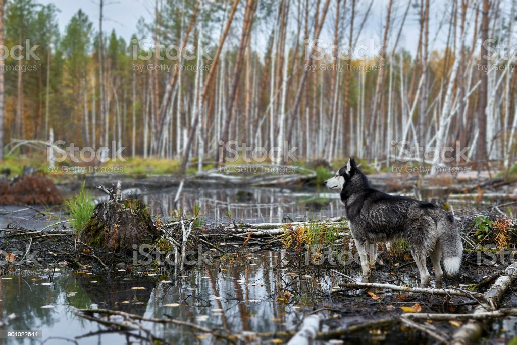 Black and white color Siberian stock photo
