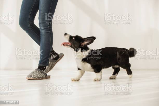 Black and white corgi following womans legs indoors picture id1147452816?b=1&k=6&m=1147452816&s=612x612&h=midesqy1scmazvpaepwmryod 3enbocxrleuca0axds=