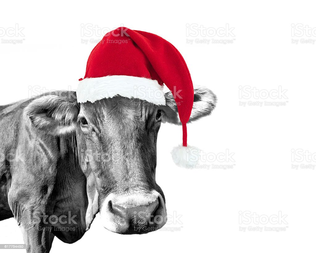 Black and white cow on white with a Santa hat stock photo