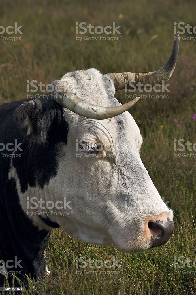 A New Forest cow grazing in the heather in portrait mode. These...