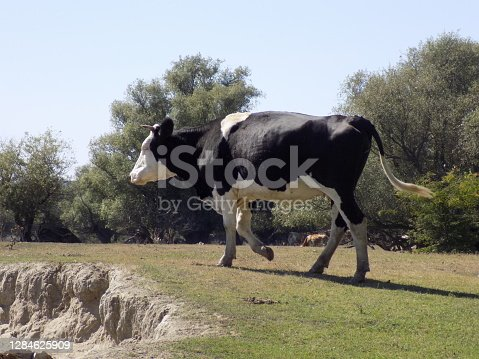 istock Black and white cow runs across the sand dune 1284625909