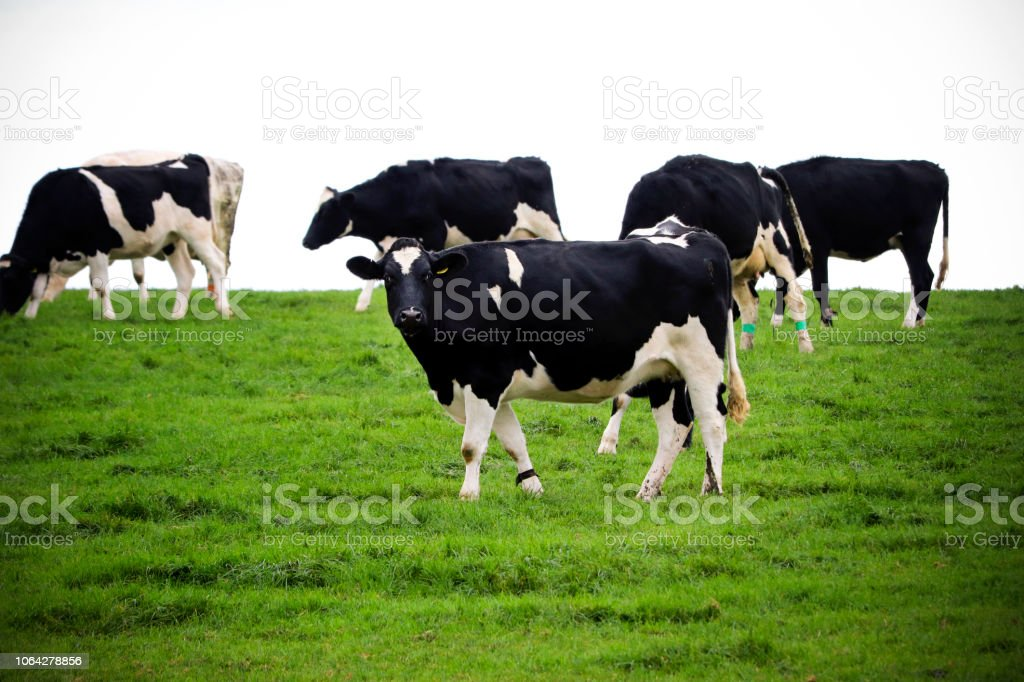 Black and white cows stock photo