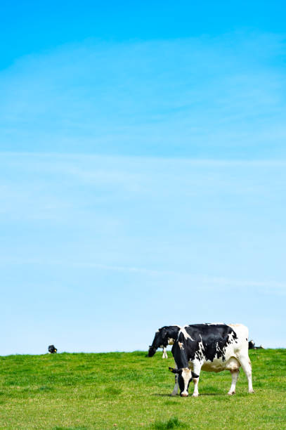 Black and white dairy cattle stock photo