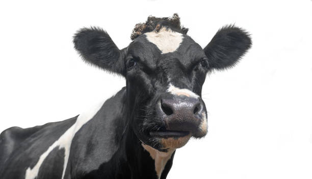 A black and white dairy cow portrait A black and white dairy cow isolated on a white background holstein cattle stock pictures, royalty-free photos & images