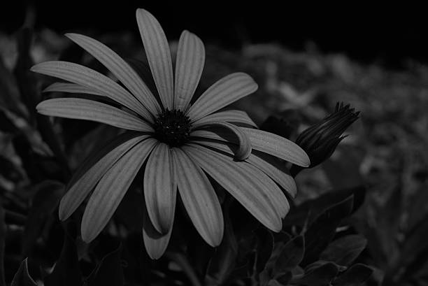 Royalty Free Black And White Daisy Pictures, Images And
