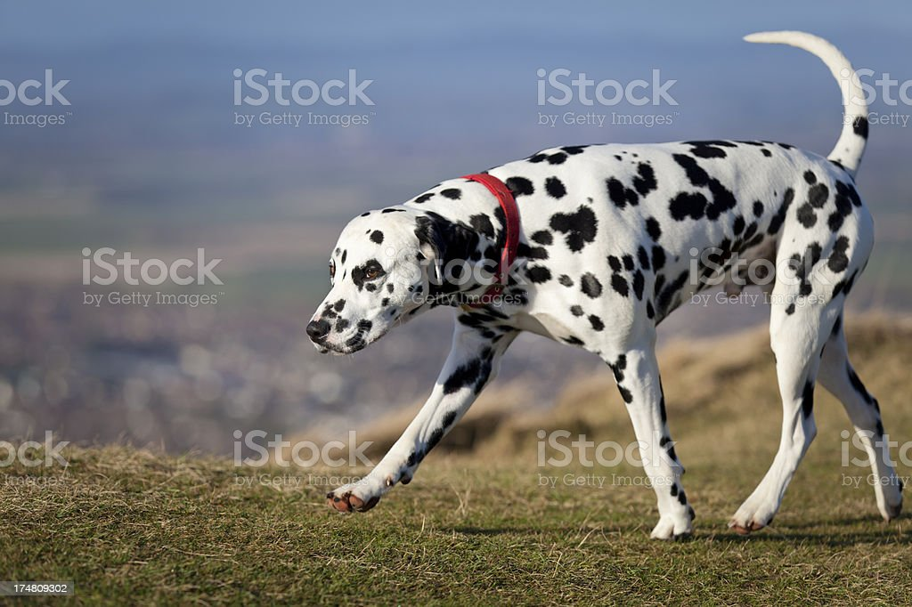 Black and white Dalmation waking on hill closeup stock photo