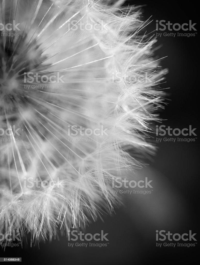 Noir Et Blanc Fleur De Pissenlit Photos Et Plus D Images De