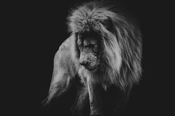 black and white dark portrait of a African lion black and white dark portrait of a African lion pose Leo stock pictures, royalty-free photos & images