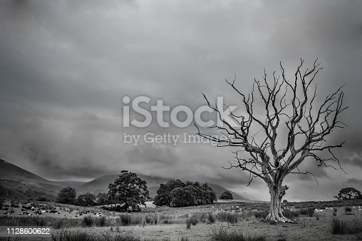 A dead tree with farm background in Scottish highlands.