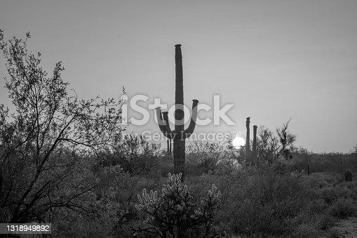 Saguaro Cactus in the desert at sunset in Arizona east of Apache Junction
