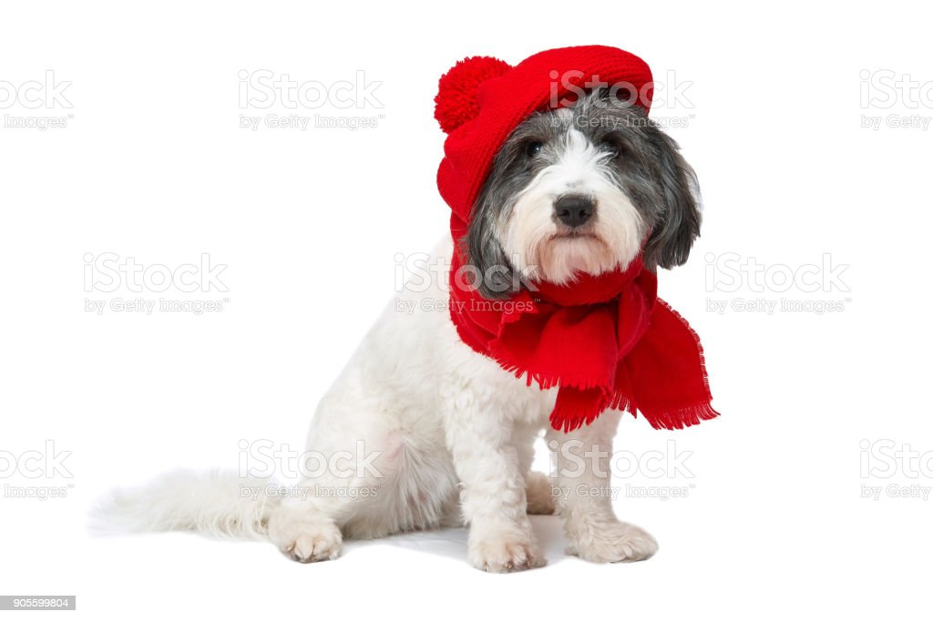 black and white dog in red beret and fez on a white background stock photo