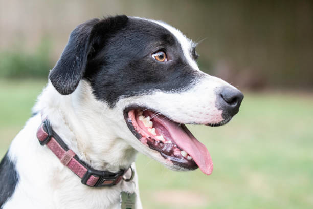 58 Short Haired Border Collie Stock Photos Pictures Royalty Free Images Istock