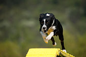 Furious Border Collie over the dolgwak obstacle