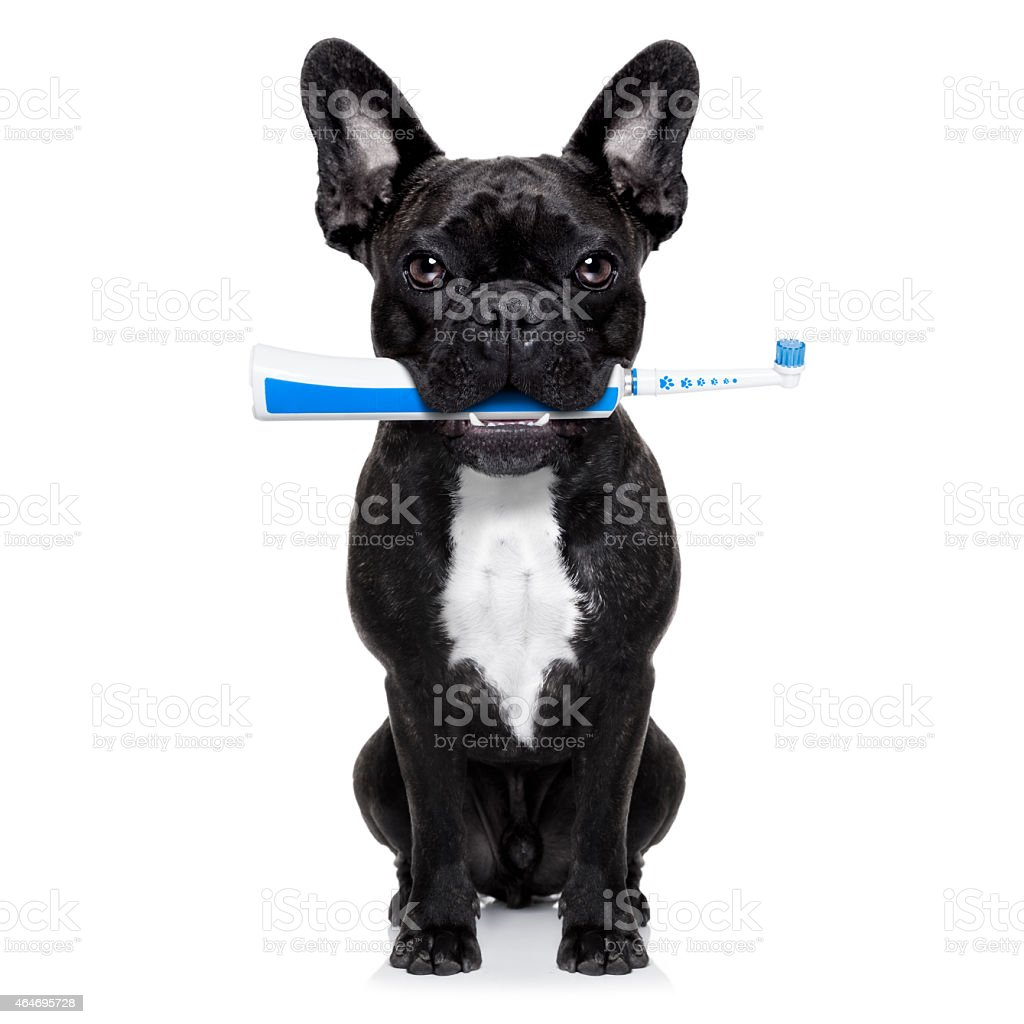 A black and white dog with a blue toothbrush in its mouth stock photo