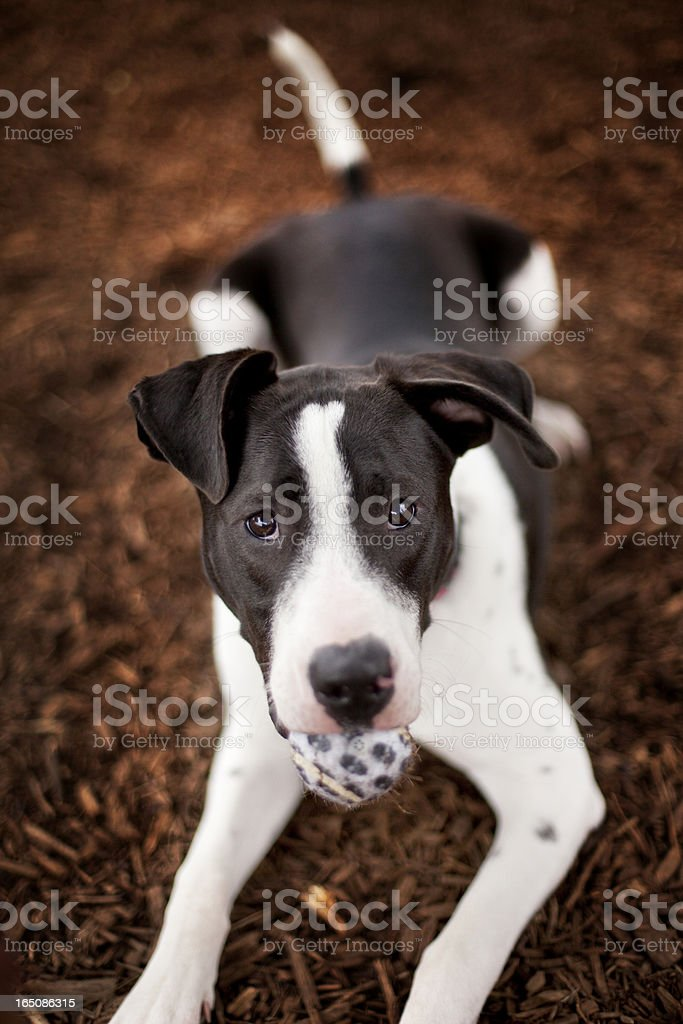 Black and white dog with ball in mouth stock photo