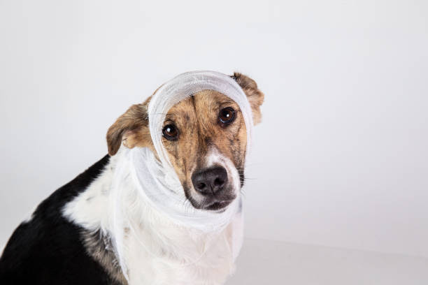 Black and white dog with bandage on his head on a white background picture id1221902641?b=1&k=6&m=1221902641&s=612x612&w=0&h=q2t 3isroggdhucjvkjgdvfsk3dkxcppfkgijhwwnvw=