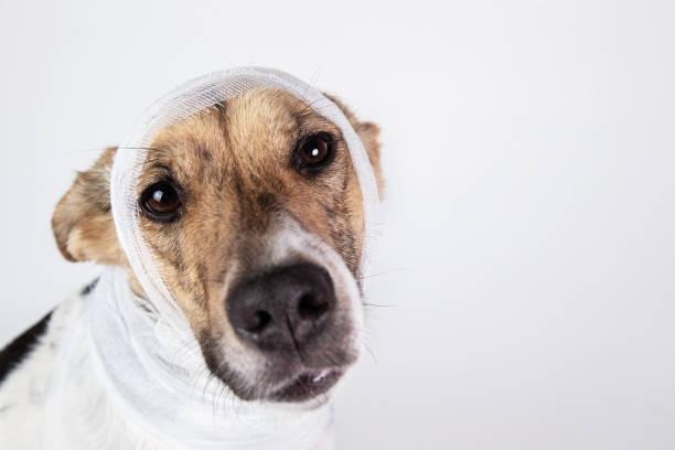 Black and white dog with bandage on his head on a white background picture id1221902646?b=1&k=6&m=1221902646&s=612x612&w=0&h=thvwmshu3p08admpwb 1p9srzt rkqoarjps3dgdpbu=