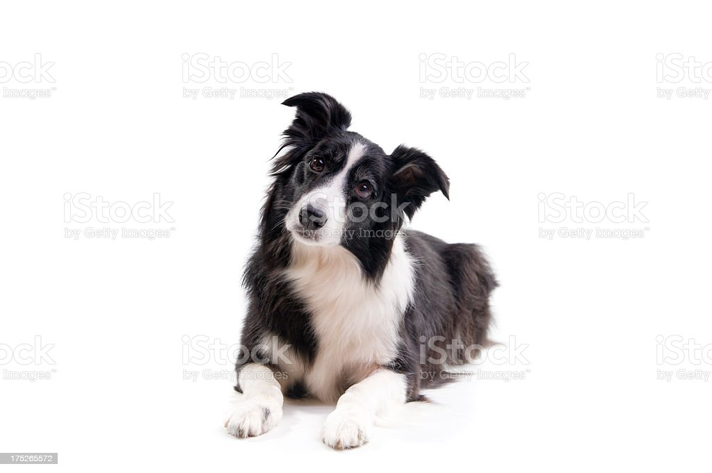 Black and white dog with head tilted stock photo