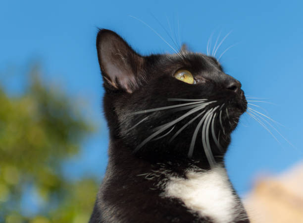 Black and white domestic cat looking to the sky stock photo