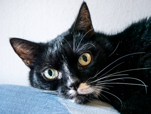 Black and white domestic cat with yellow eyes – zdjęcie