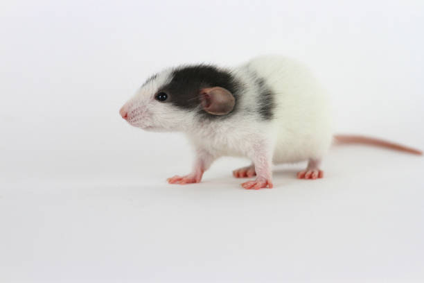 Black and White Dumbo Rat on White Background stock photo