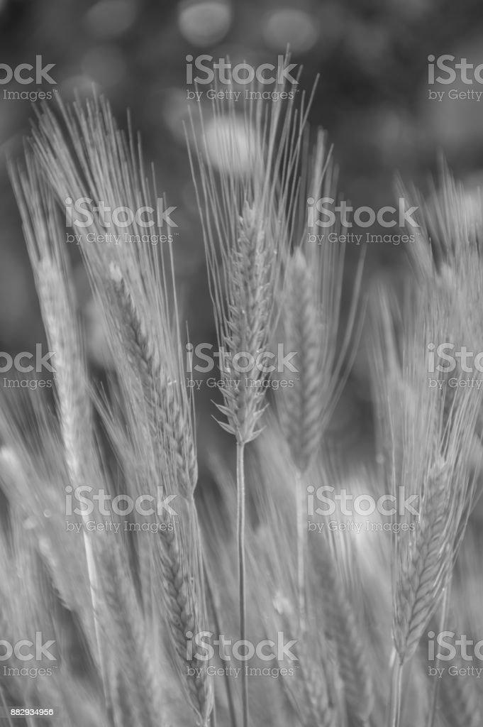 black and white, ears of wheat, rye, closeup stock photo