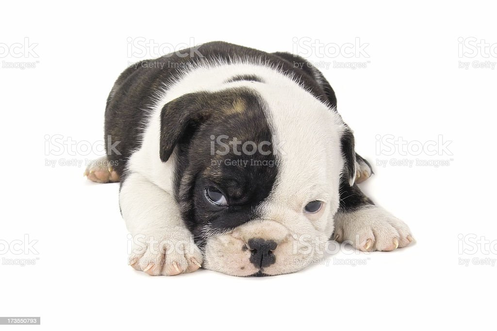 Black And White English Bulldog Puppy Stock Photo Download Image Now Istock