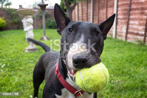 A Black And White English Bull Terrier Playing Fetch With A Tennis Ball