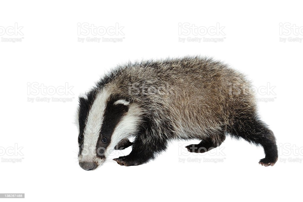 A black and white Eurasian badger looking at camera on white royalty-free stock photo