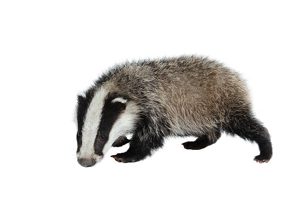 A black and white Eurasian badger looking at camera on white stock photo