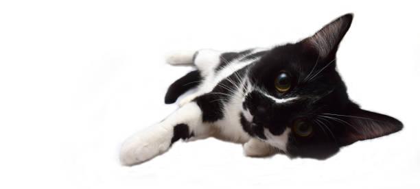 Black and white european cat picture id641603632?b=1&k=6&m=641603632&s=612x612&w=0&h=8jyjyjg4b v lyzpbfgqxsjarjpdrgcjp5zb vrjaze=