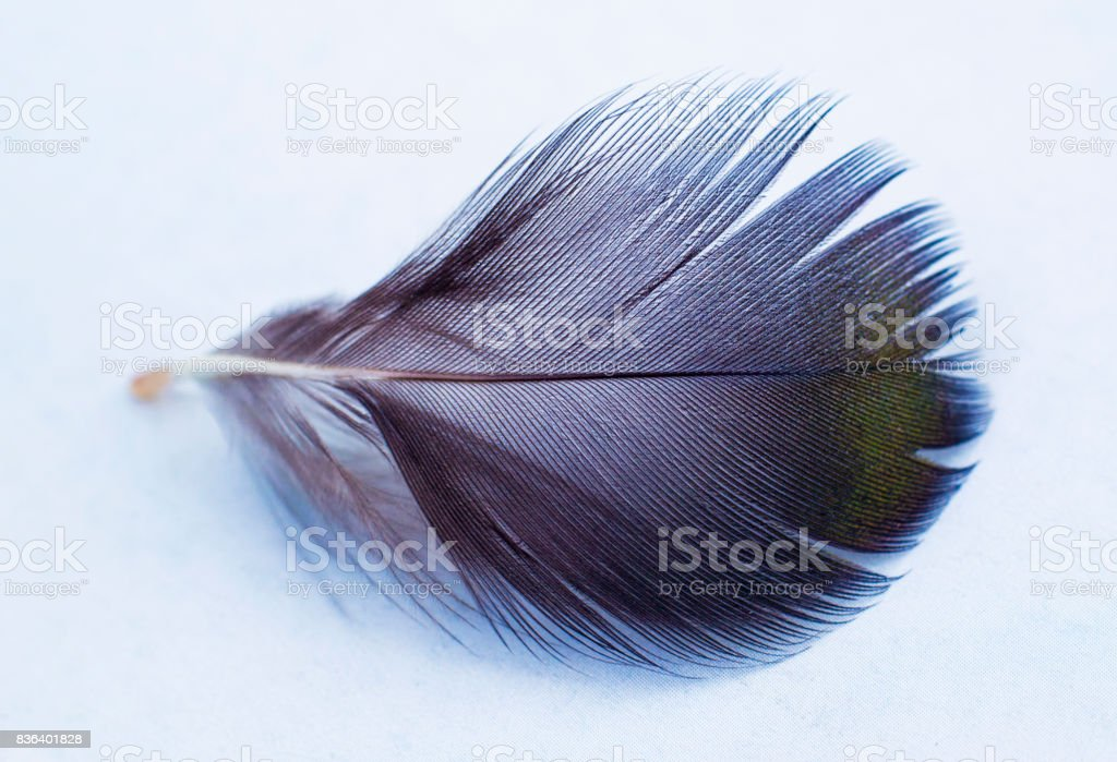black and white feather. black feather on white background stock photo