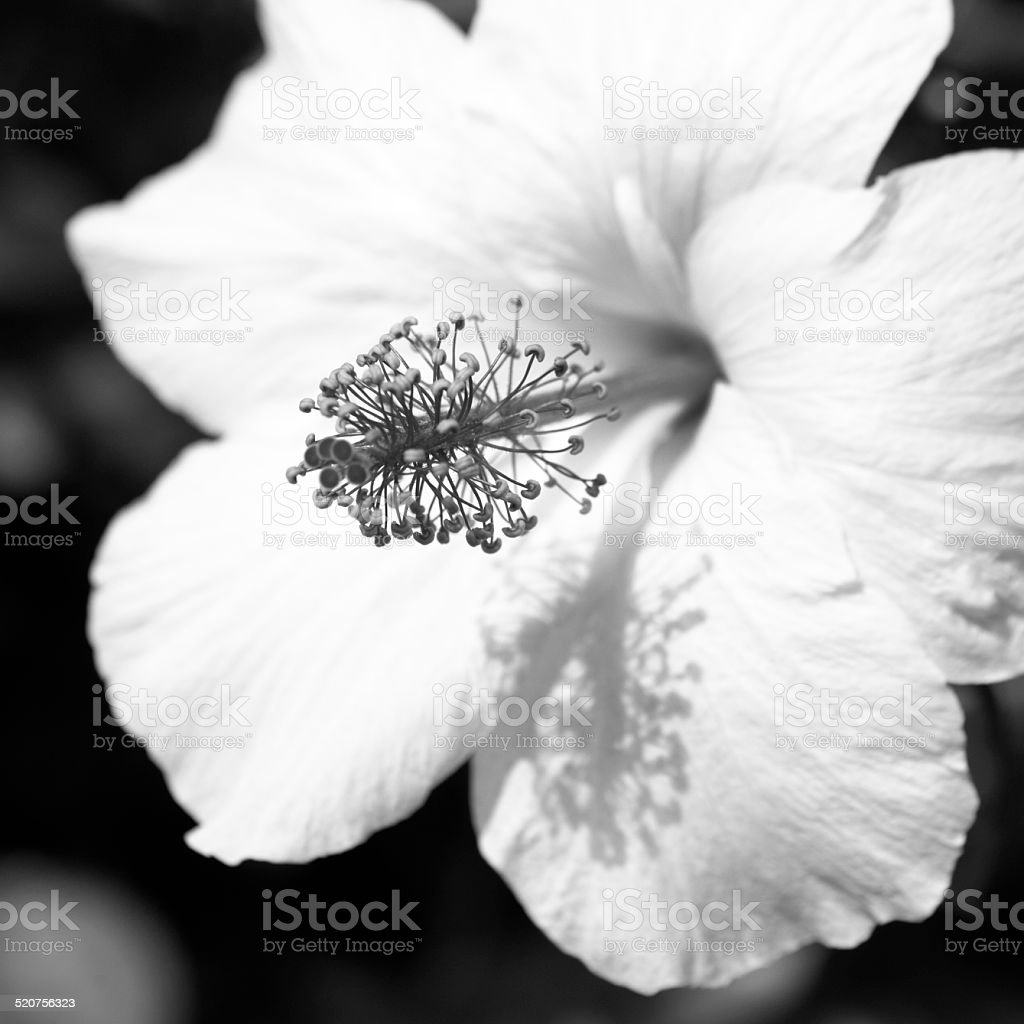 Black And White Flower Series Hibiscus Of Hawaii Stock Photo Istock