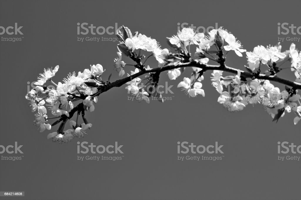 Black and white flowers of blooming tree plum. Spring colors royalty-free stock photo