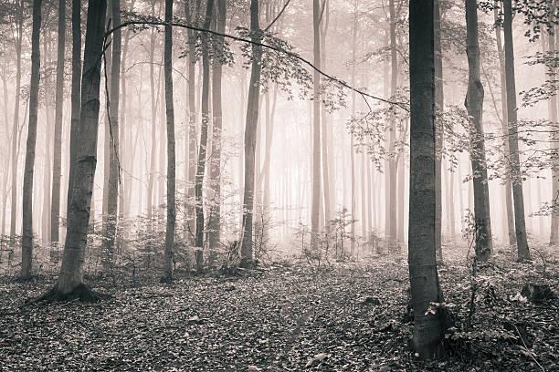 Black and White - Foggy Autumn Forest stock photo