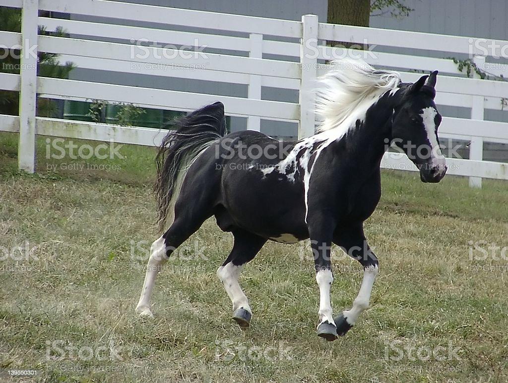 Black and White Fox Trotter Stallion royalty-free stock photo
