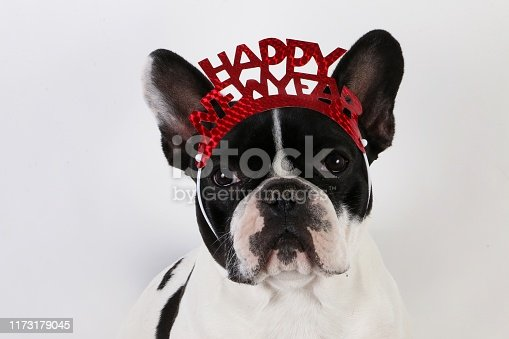 istock black and white french bulldog head portrait in the white studio with silvester decoration on the head 1173179045
