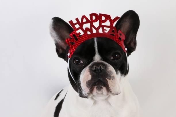 schwarz und weiß Französisch Bulldogge Kopf Porträt im weißen Studio mit Silvester-Dekoration auf dem Kopf – Foto
