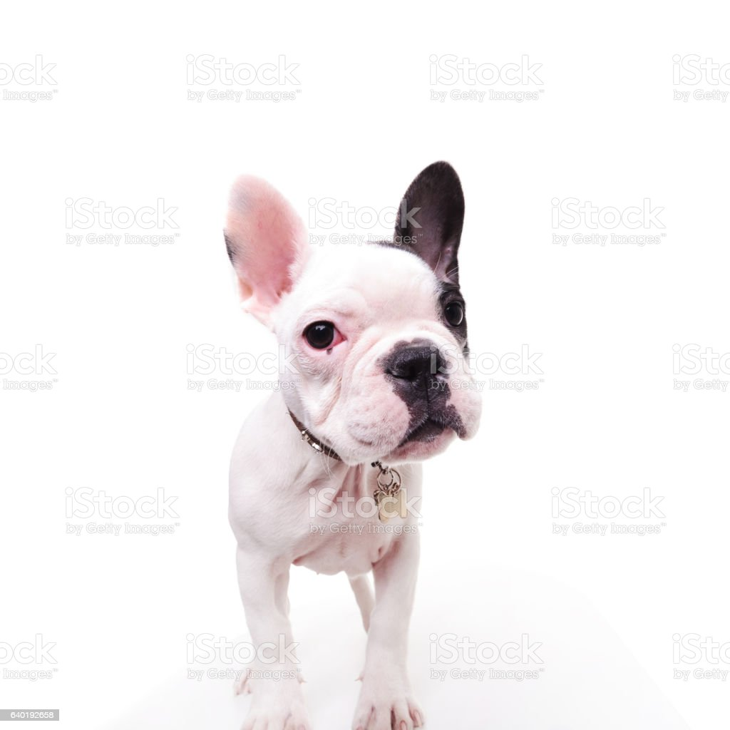 Black And White French Bulldog Puppy Dog Standing Stock Photo Download Image Now Istock