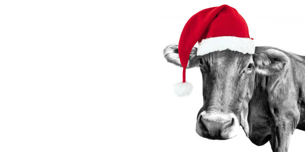 Black and white fun cow on white background with a Santa hat, Christmas greeting card Black and white fun cow on white background with a Santa hat, Christmas greeting card funny christmas stock pictures, royalty-free photos & images