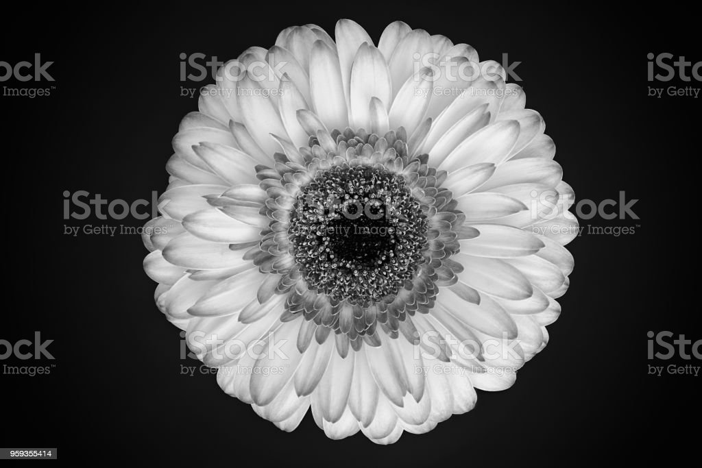 Black and white gerbera daisy blossom isolated on dark background, focus stacking, close up, ilford style. stock photo