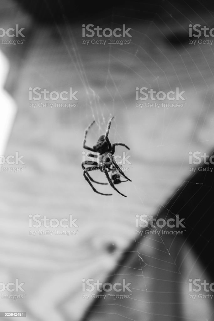 Black and White Giant Spider in Big Web stock photo