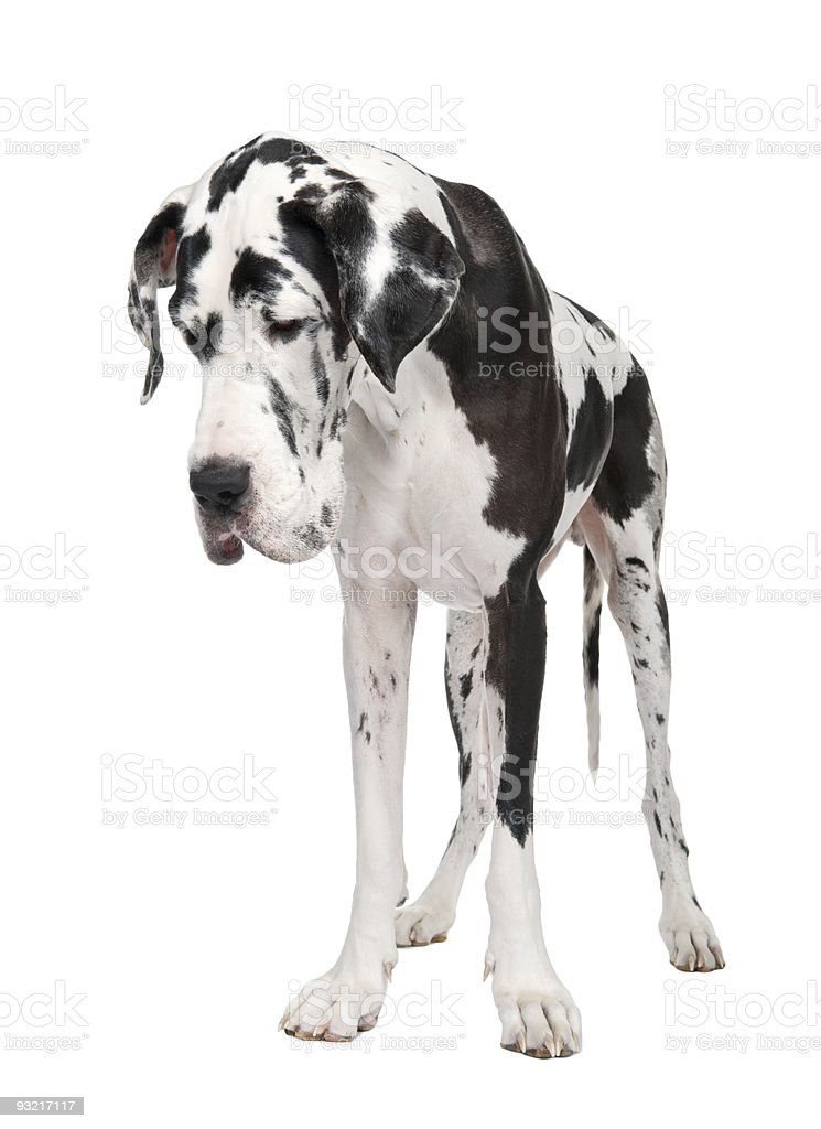 Black And White Great Dane Puppy Stock Photo Download Image Now Istock