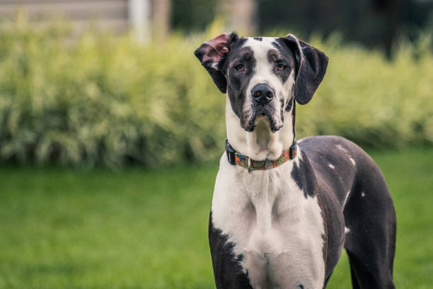 Black and white Great Dane staring at camera stock photo