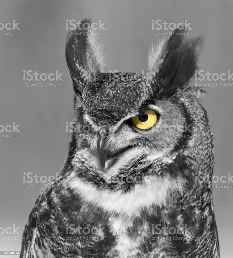 Black and white great horned owl stock photo download image now