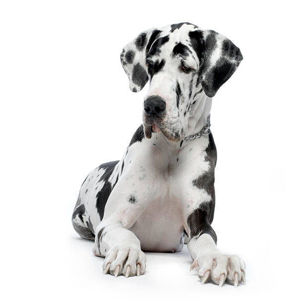 Black and white Harlequin Great Dane on a white background stock photo