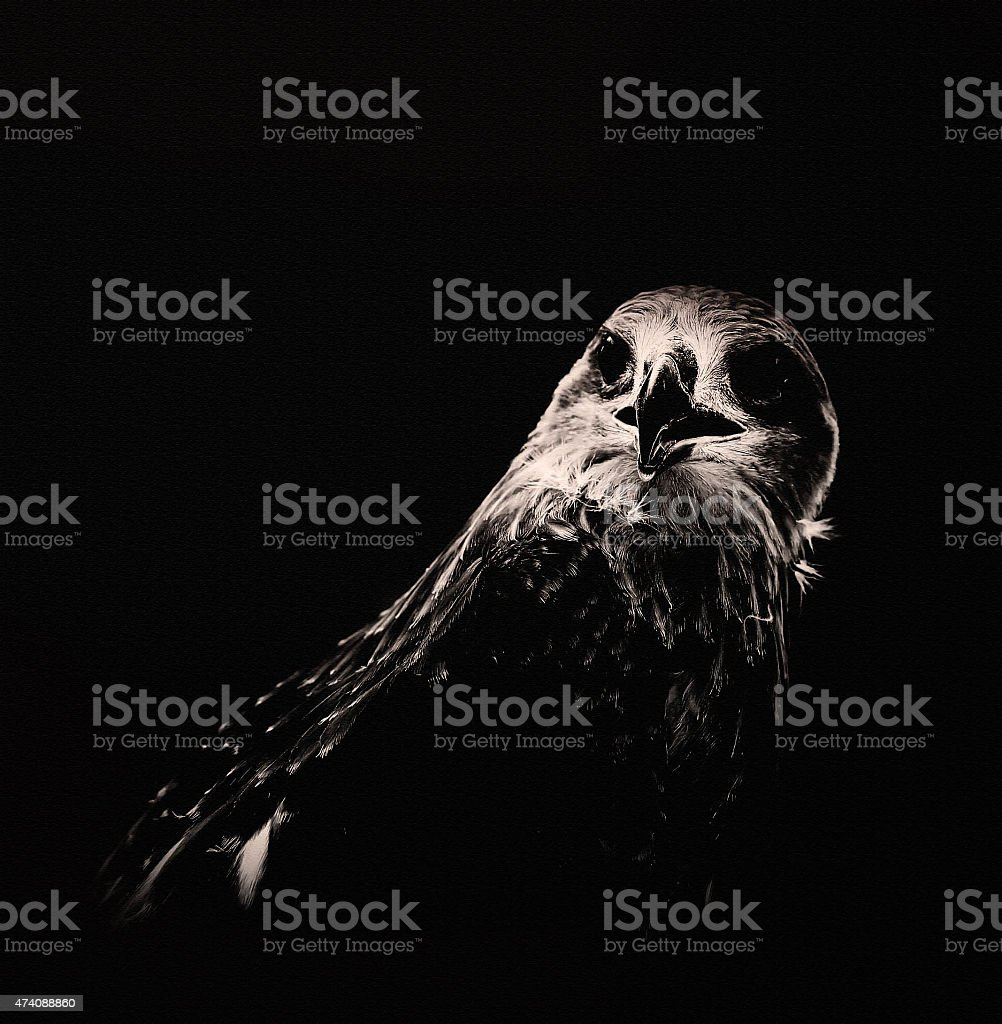 Black and white hawk on canvas. stock photo